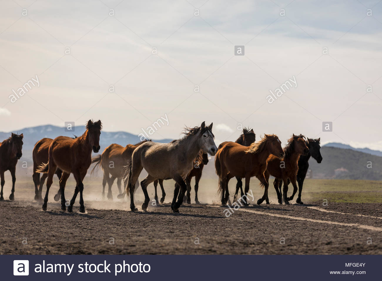 Wild Yılkı Horses In Nature - Stock Image