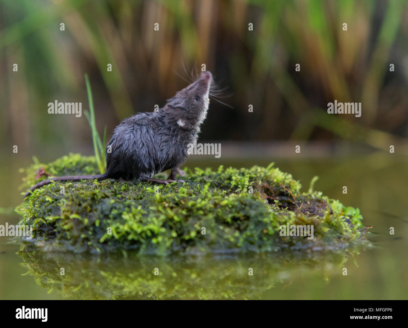 Water Shrew sitting on a  little island - Stock Image