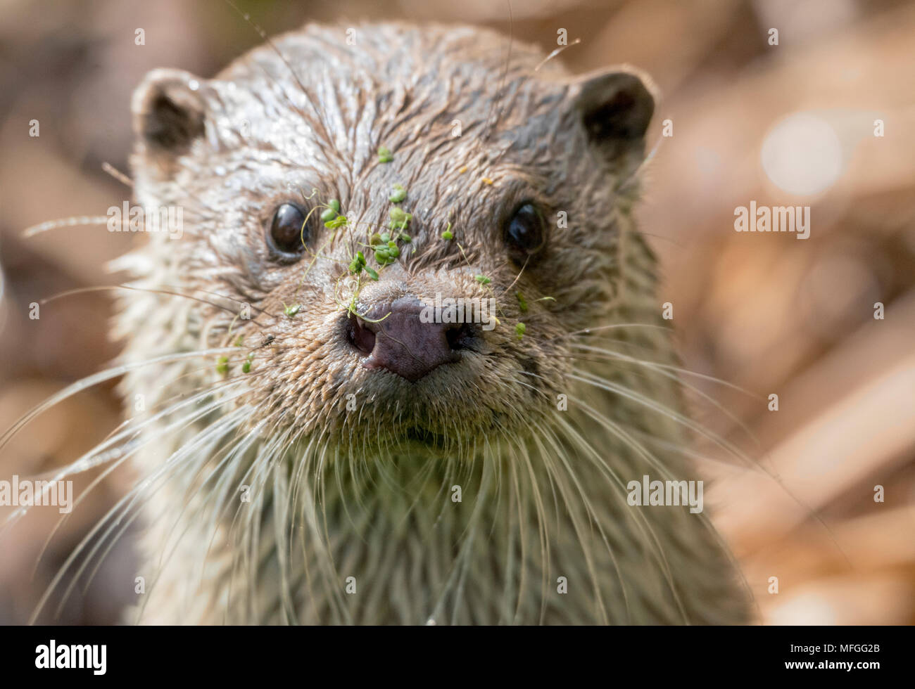 Curious otter staring straight into the camera - Stock Image