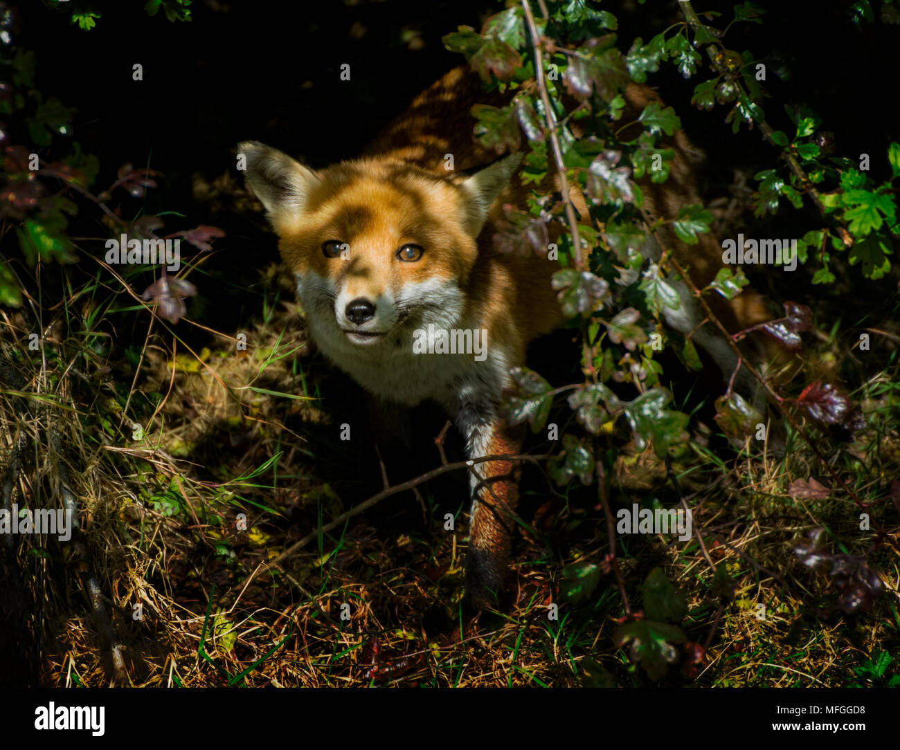 Vixen venturing out from undergrowth - Stock Image