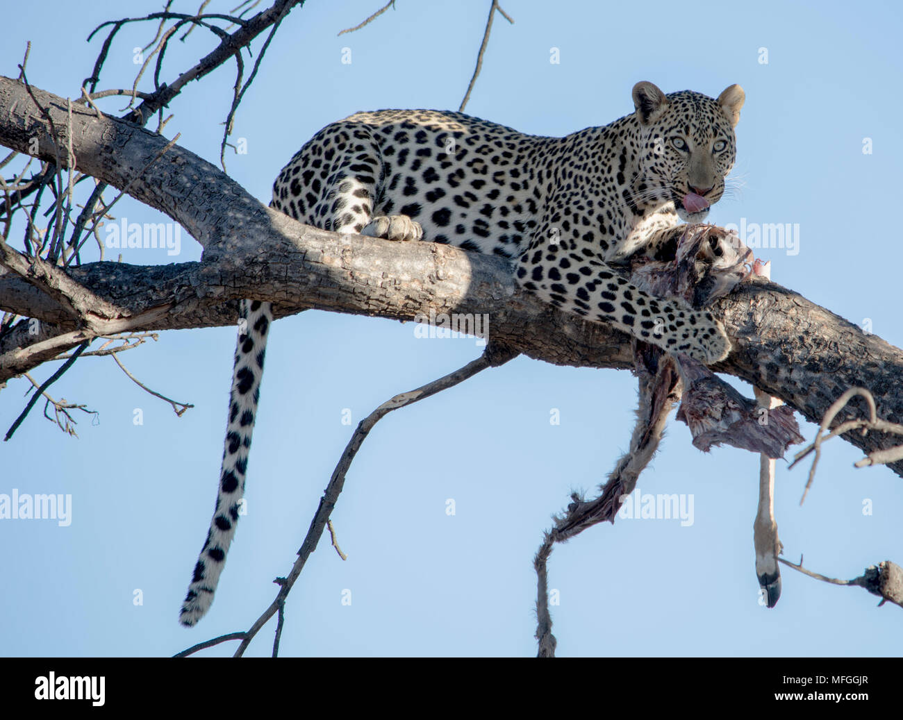 Wild Leopard in tree with kill - Stock Image