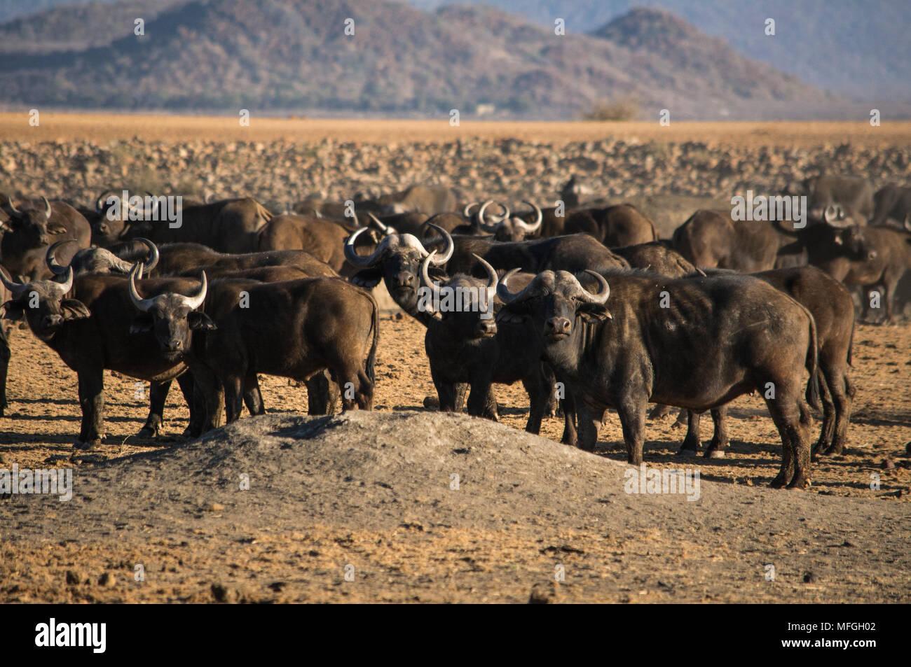 Buffalo herd - Stock Image