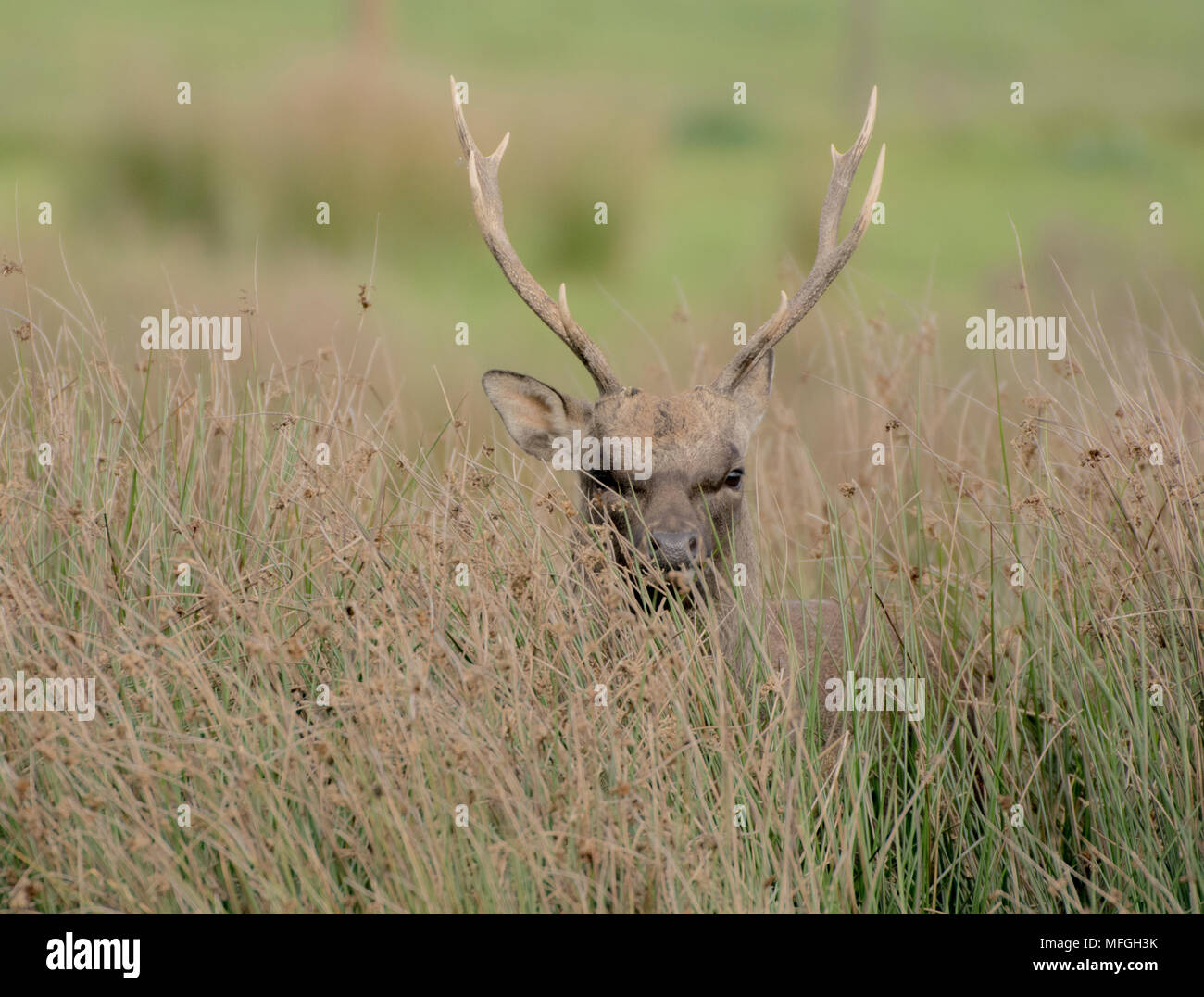 A wild  Sika stag looking through the long grass - Stock Image