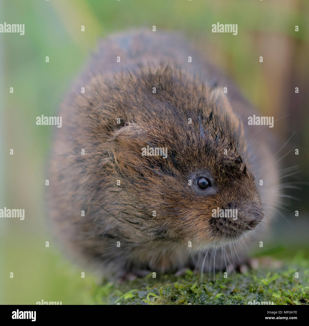 a wild water vole sitting on the bank - Stock Image