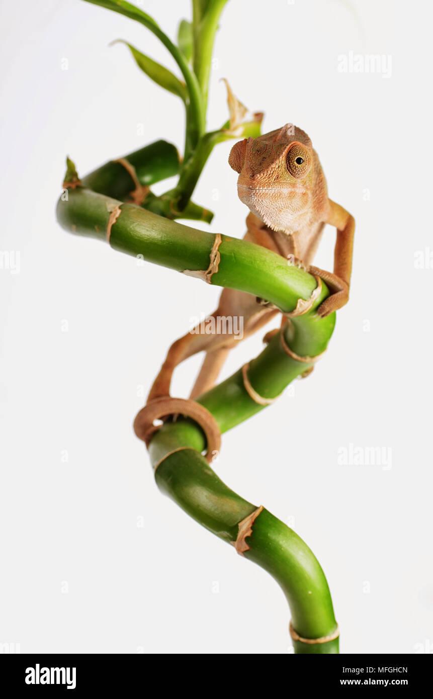 Studio shoot, Chameleon climbing bamboo - Stock Image