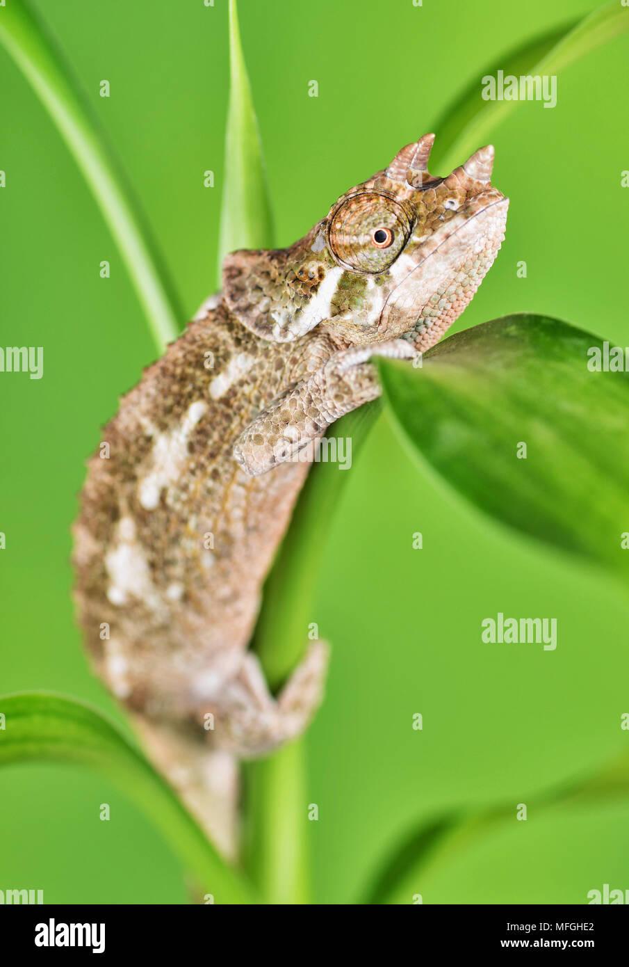 Horned Chameleon on plant - Stock Image