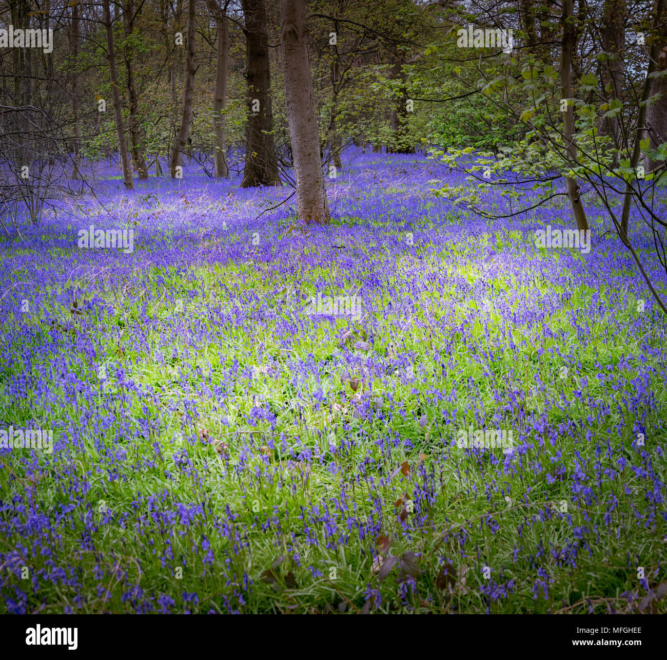 Bluebell Woods of Bawtry - Stock Image