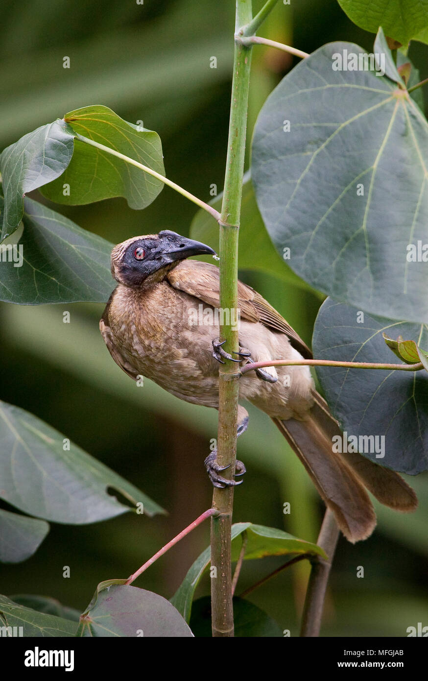 Helmeted Friarbird (Pilemon buceroides), Fam. Meliphagidae, Mission Beach, Queensland, Australia - Stock Image