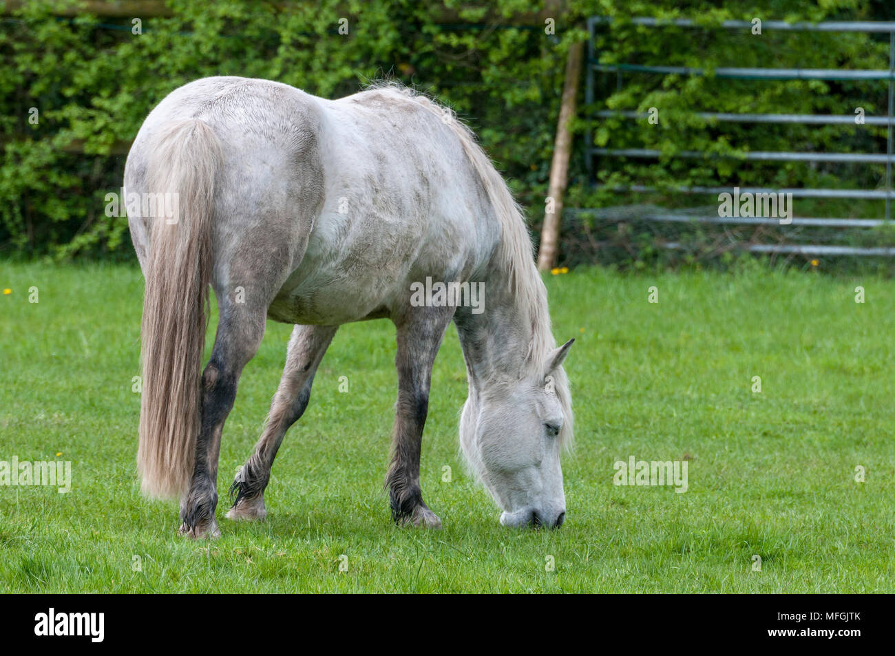 Dappled grey horse grazing grass. - Stock Image
