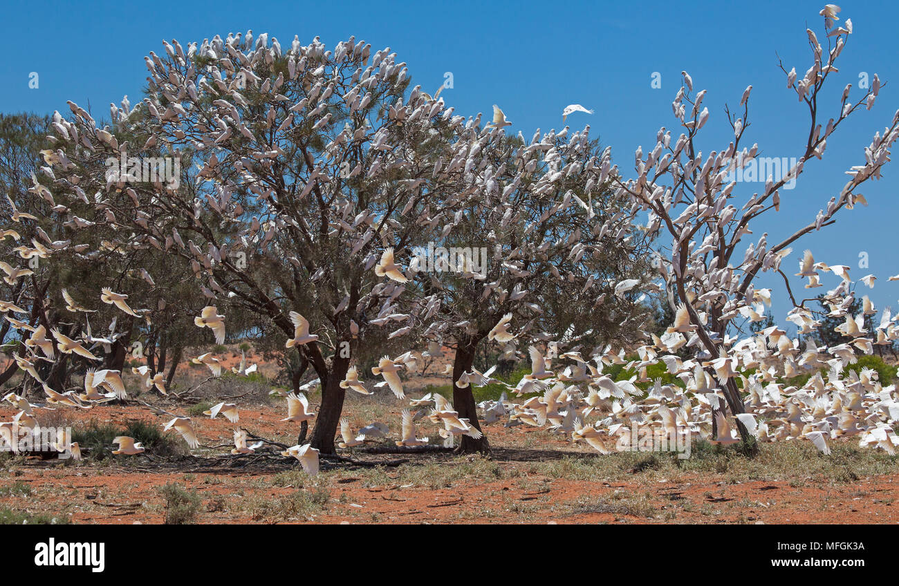 Little Corella (Cacatua sanguinea), Fam. Cacatuidae, Large flocks of Corellas regularly gather around watering points, Mulyangarie Station, South Aust Stock Photo