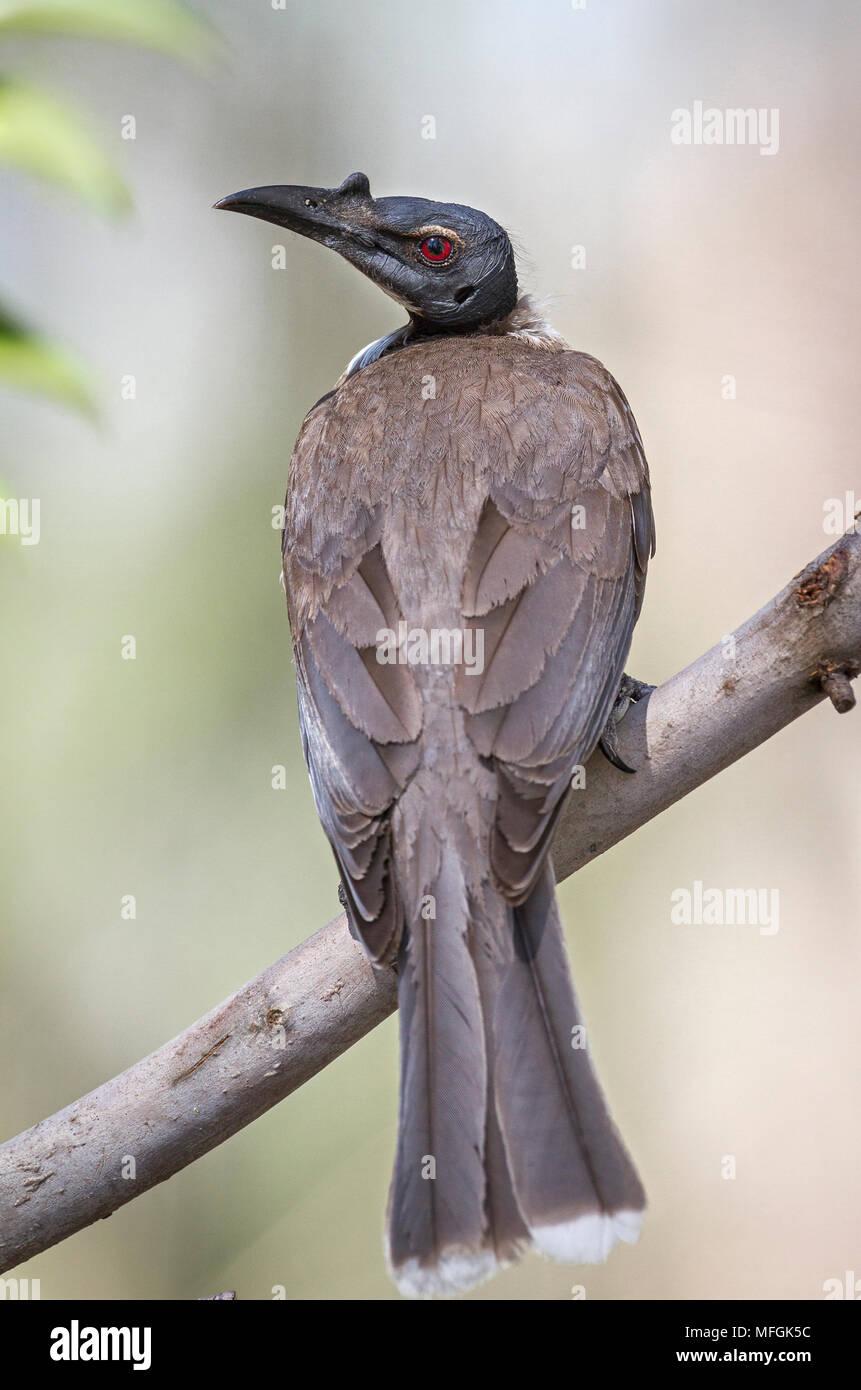 Noisy Friarbird (Philemon corniculatus), Fam. Meliphagidae, Armidale, New South Wales, Australia - Stock Image