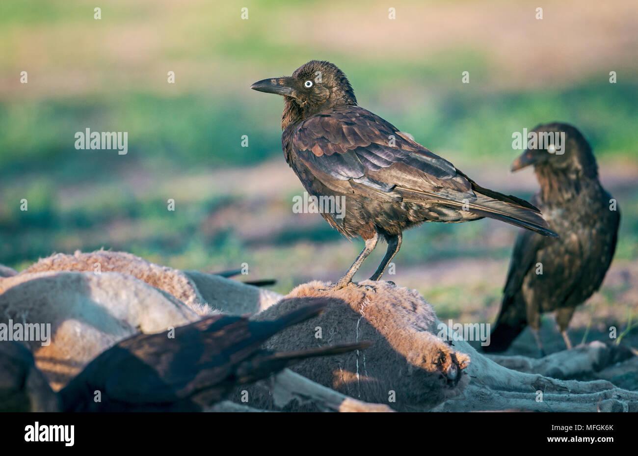 Australian Raven (Corvus coronoides), Fam. Corvidae, feeding on kangaroo carcass, Mulyangarie Station, South Australia, Australia - Stock Image