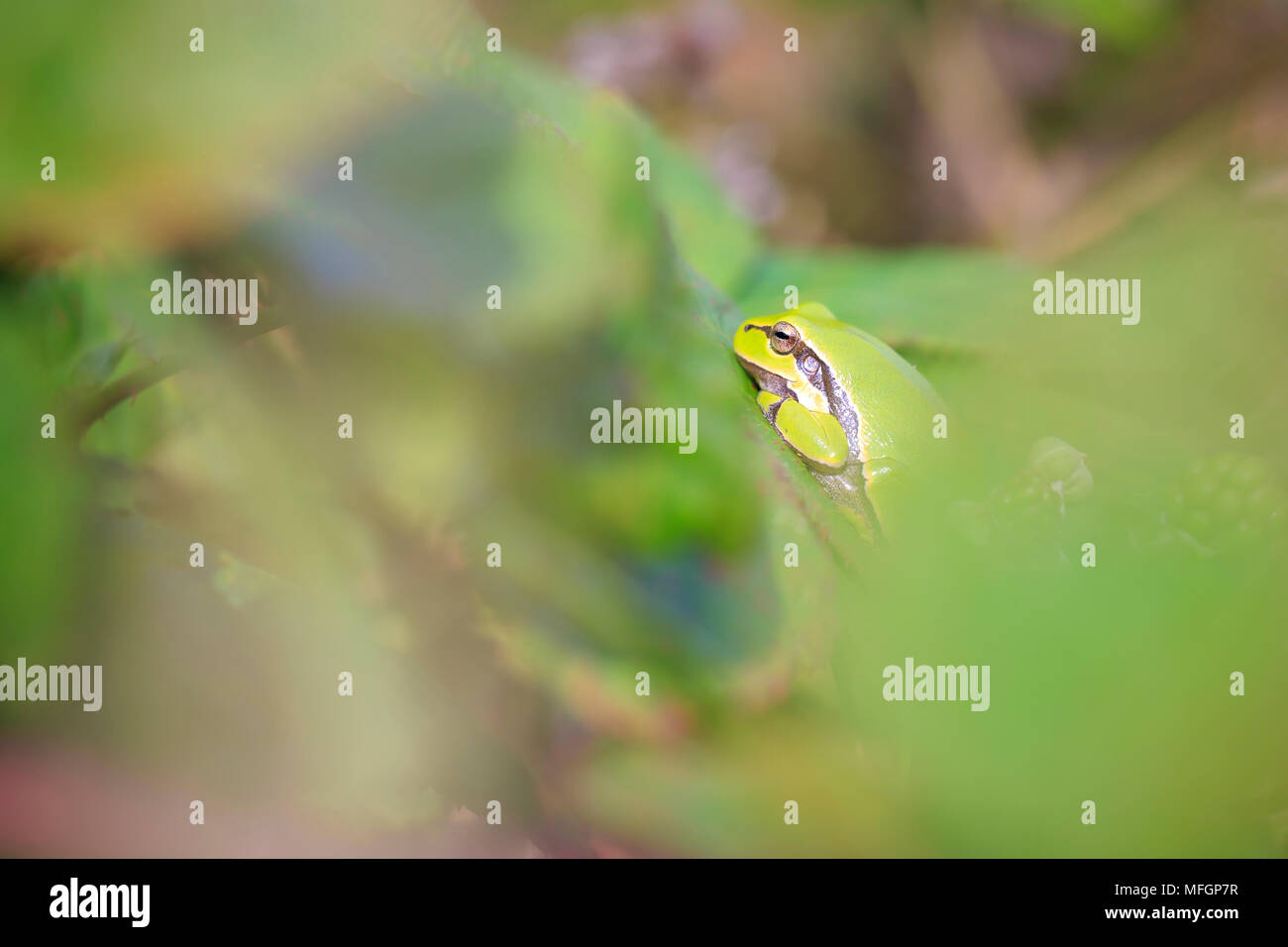 Closeup of a small European tree frog (Hyla arborea or Rana arborea), resting in a blackberry bush heating up in the sun. Stock Photo