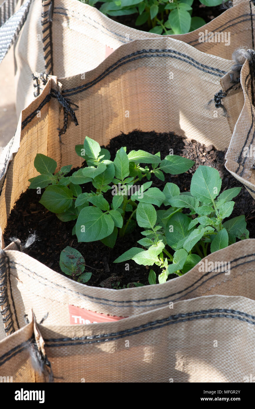 Solanum tuberosum. Potato Vizelle plants growing in sacks in early spring. England - Stock Image