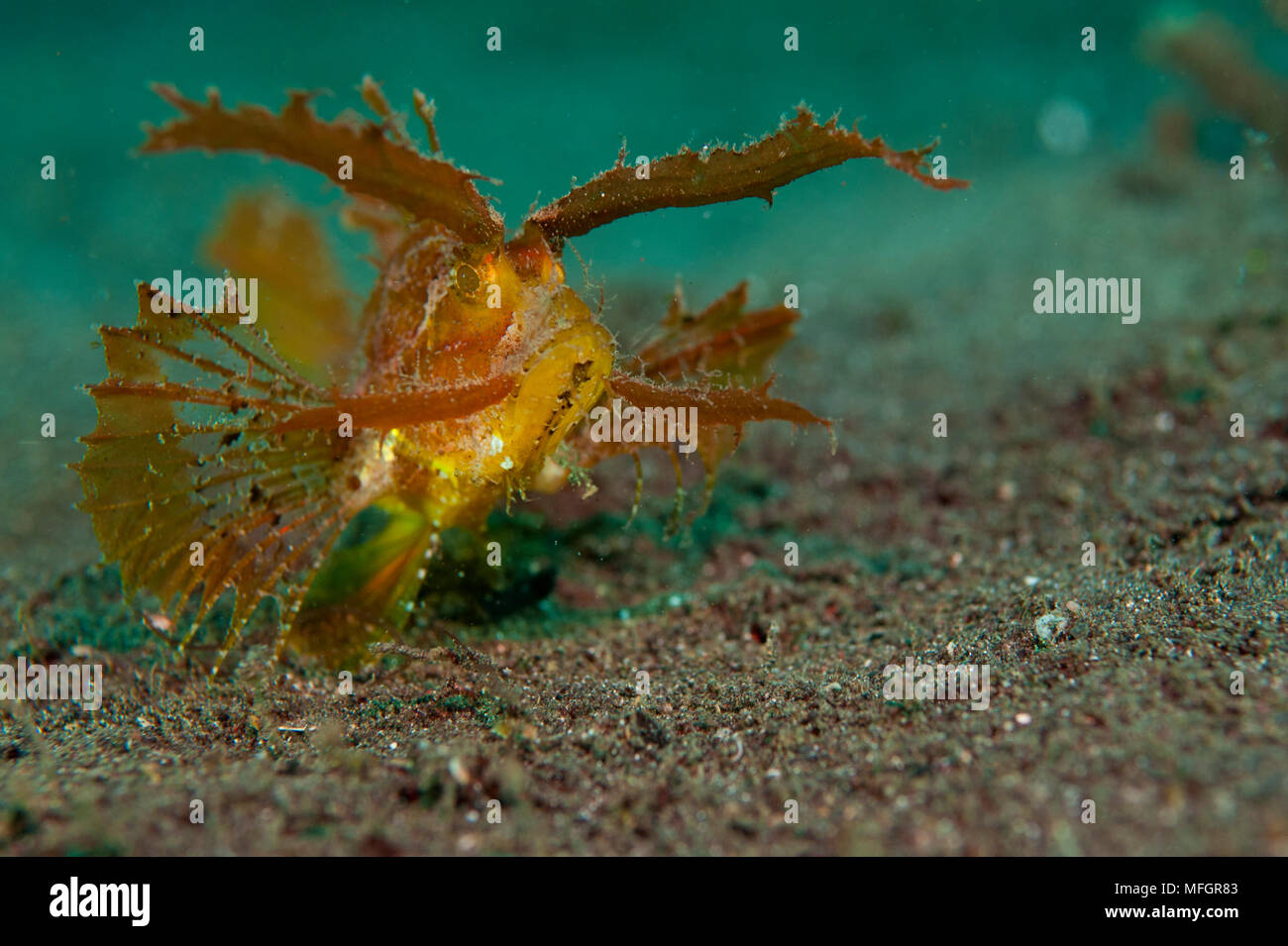 Ambon scorpionfish: Pteridicthys amboinensis, red and ornage variety, Lembeh Strait - Stock Image