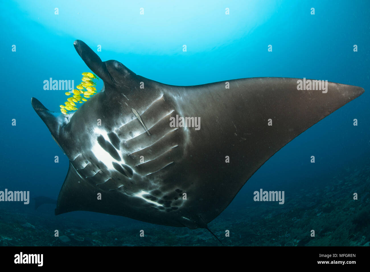 The reef manta ray, Manta alfredi, with yellow pilot fish in front of its mouth, Dampier Strait, Raja Ampat, West Papua, Indonesia - Stock Image