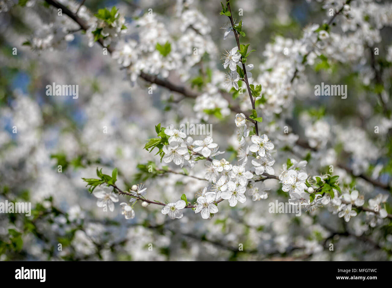 Flowering apricot tree in spring white flowers of apricot spring flowering apricot tree in spring white flowers of apricot spring flowering of fruit trees a tree with white flowers spring garden city park mightylinksfo