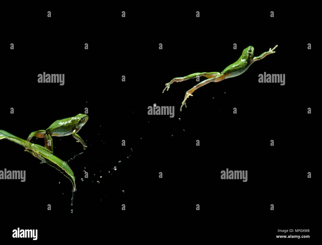 EUROPEAN TREE FROG leaping Hyla arborea  (multiflash, two images) Image carries 50% surcharge Stock Photo