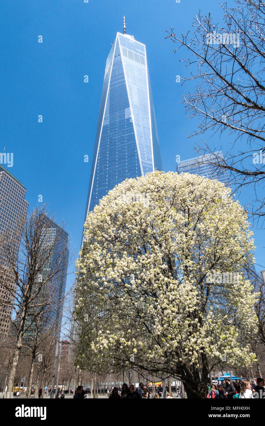The Survivor Tree at The National September 11 Memorial Site with The Freedom Tower , Lower Manhattan, NYC - Stock Image