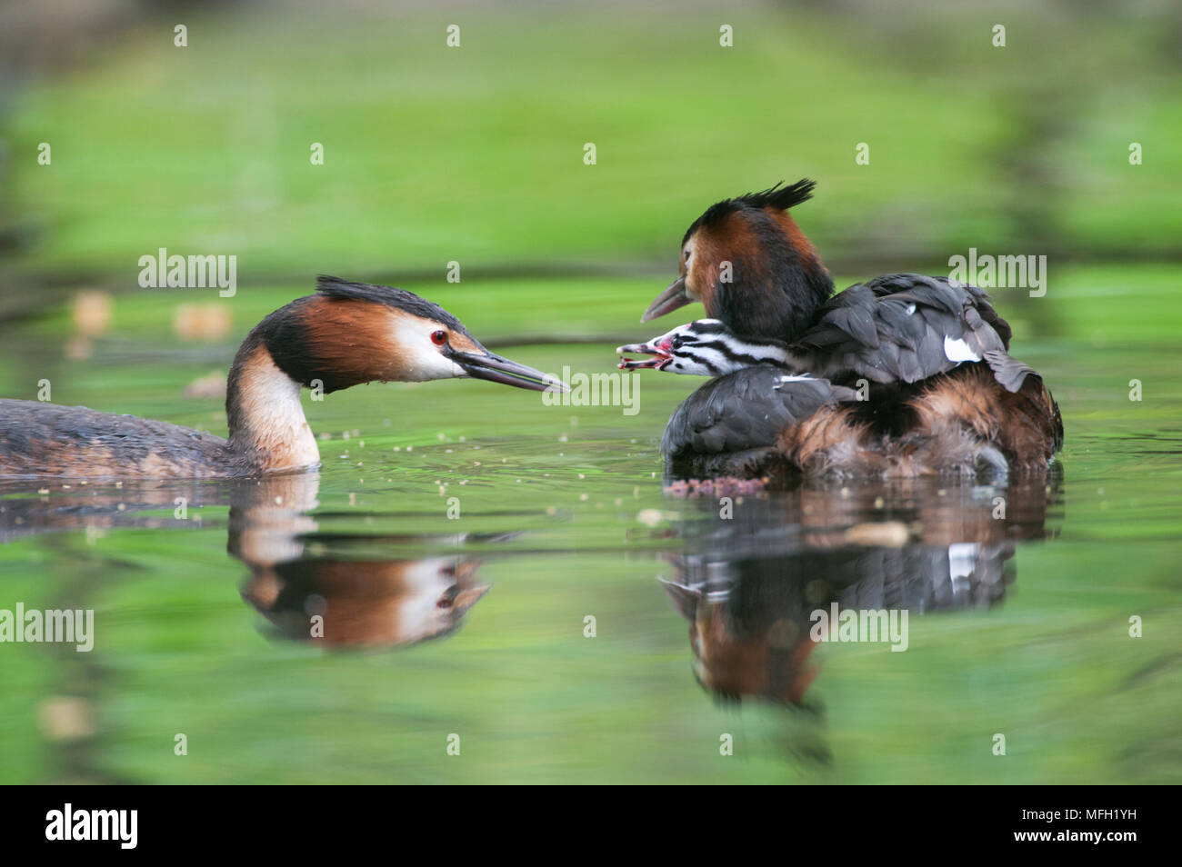 Pair of Great Crested Grebe, (Podiceps cristatus), with parent feeding chick on parent's back, Regent's Park, London, United Kingdom, British Isles - Stock Image