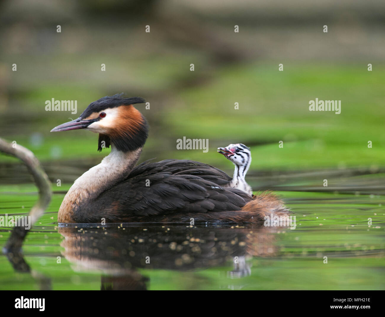Great Crested Grebe, (Podiceps cristatus), parent bird carrying a single chick on its back, Regents Park, London, Briitish Isles, UK - Stock Image