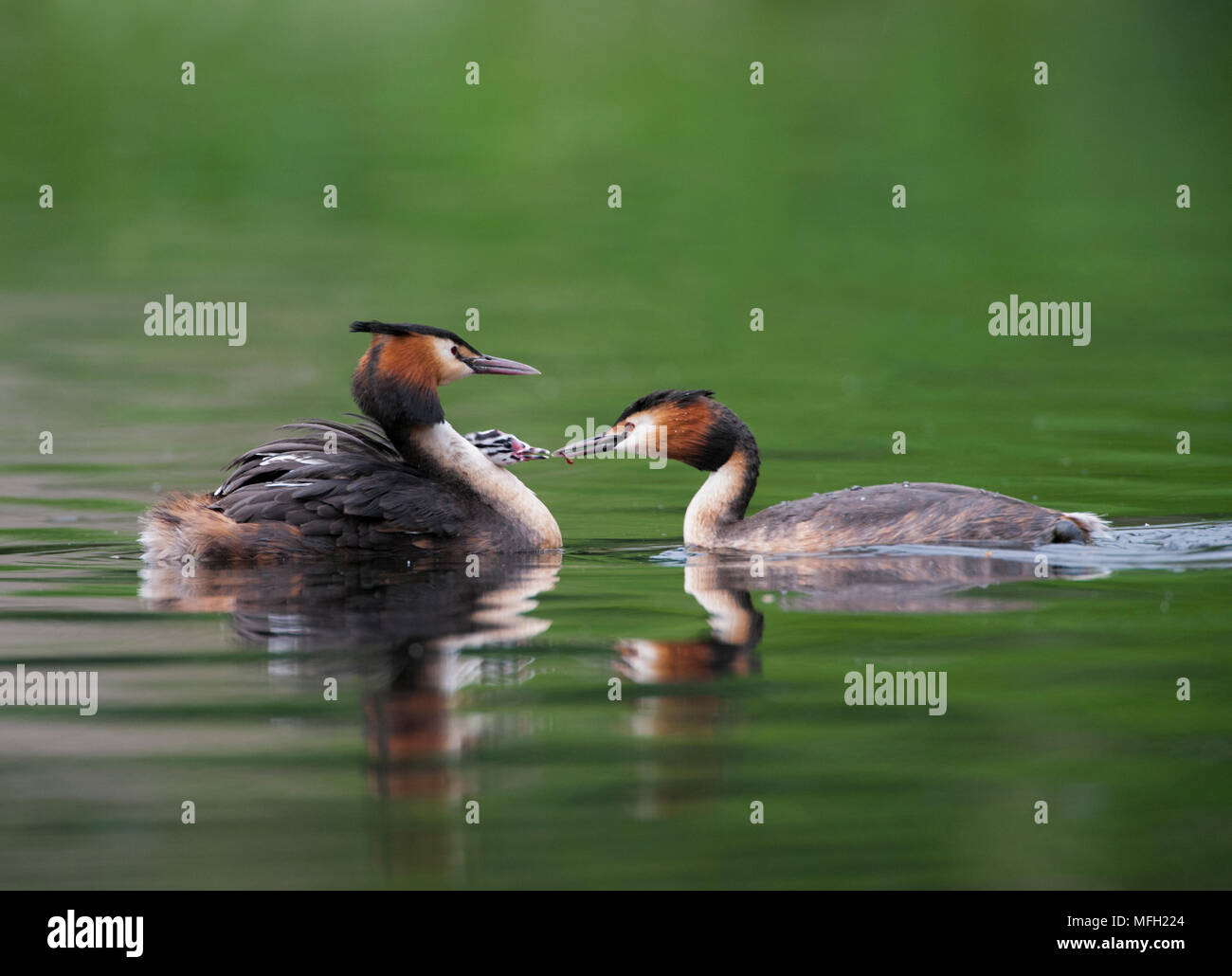 Great Crested Grebe pair, (Podiceps cristatus), feeding chick on back, Regent's Park, London, United Kingdom, British Isles - Stock Image
