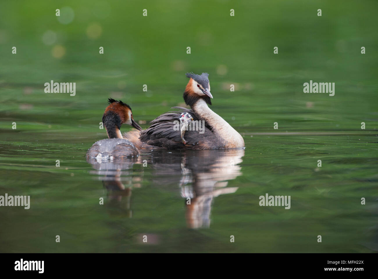 Pair of Great Crested Grebe, (Podiceps cristatus), parent bird carrying a single chick on its back, Regents Park, London, Briitish Isles, UK - Stock Image