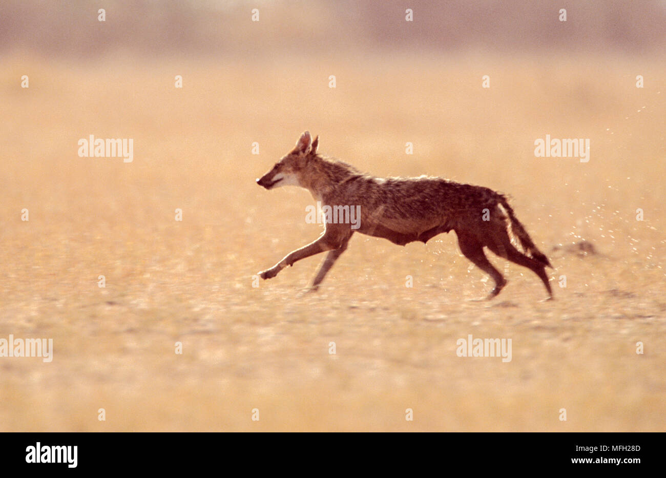female Indian wolf,(Canis indica formally Canis lupus pallipes), running across grassland plains, in Blackbuck National Park, Velavadar,Gujarat, India - Stock Image