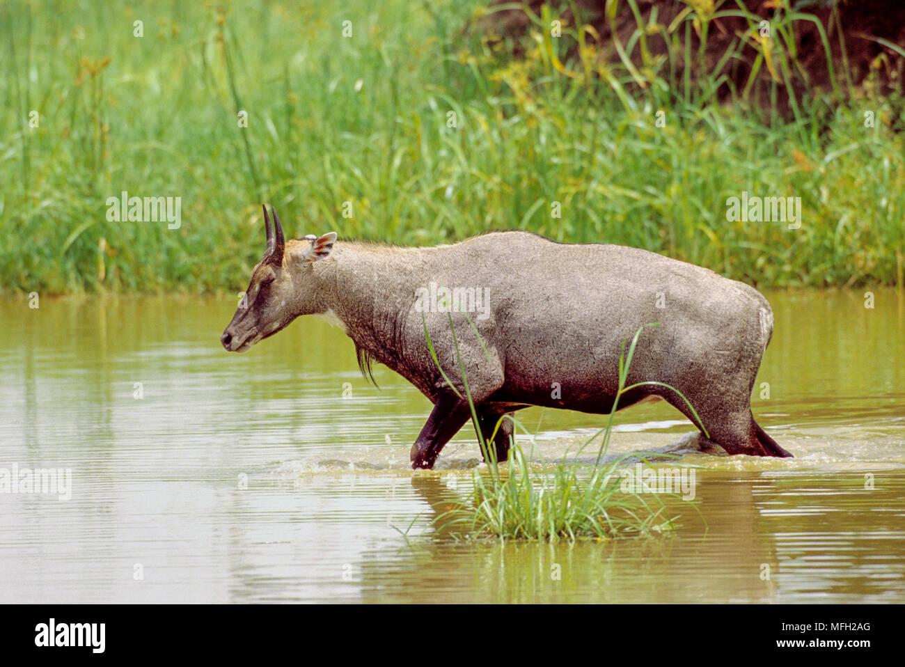 male Nilgai or Blue Bull, (Boselaphus tragocamelus), walking through wetland habitat, Keoladeo Ghana National Park, Bharatpur, Rajasthan, India - Stock Image