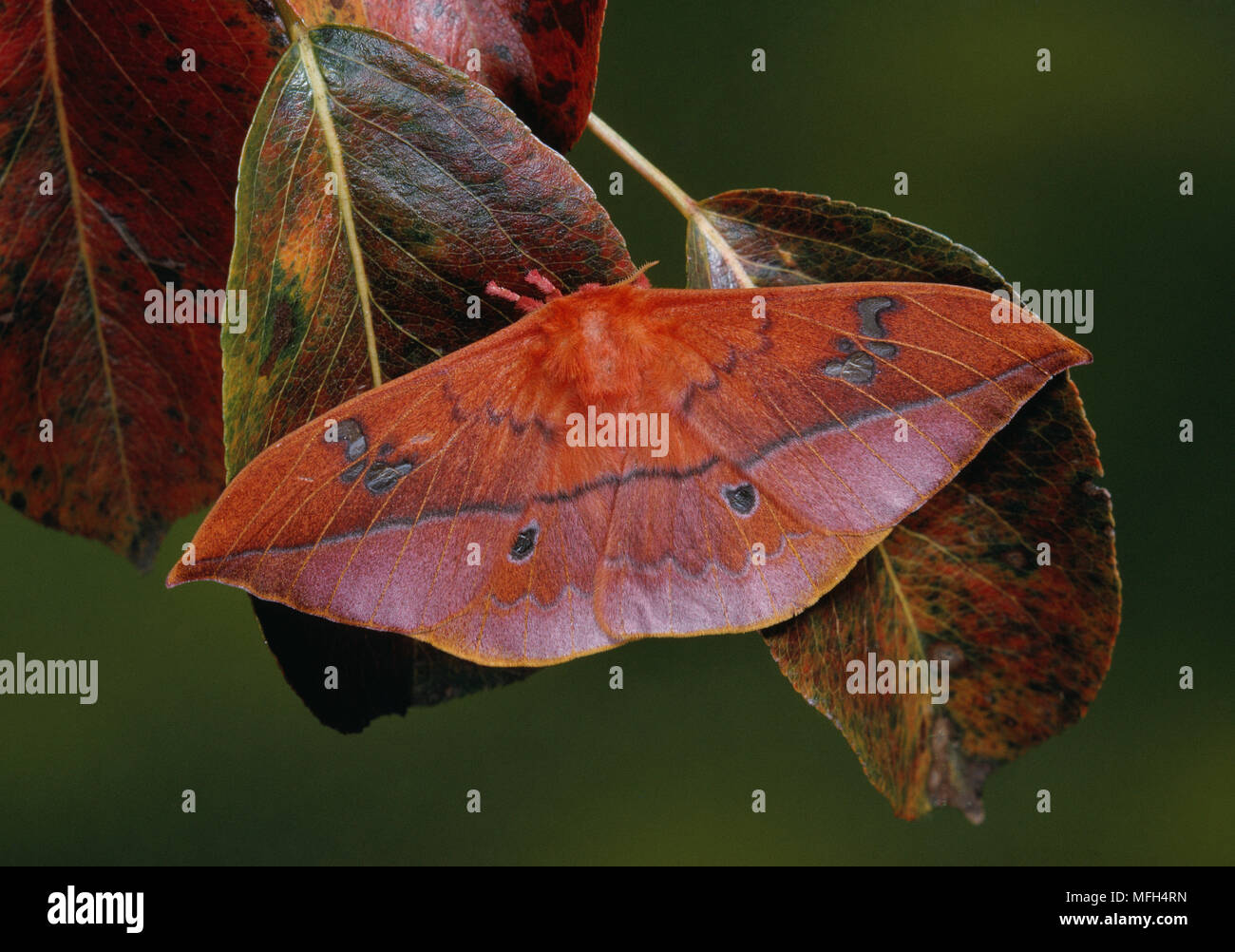 Cryptic Moth Stock Photos & Cryptic Moth Stock Images - Page 2 - Alamy