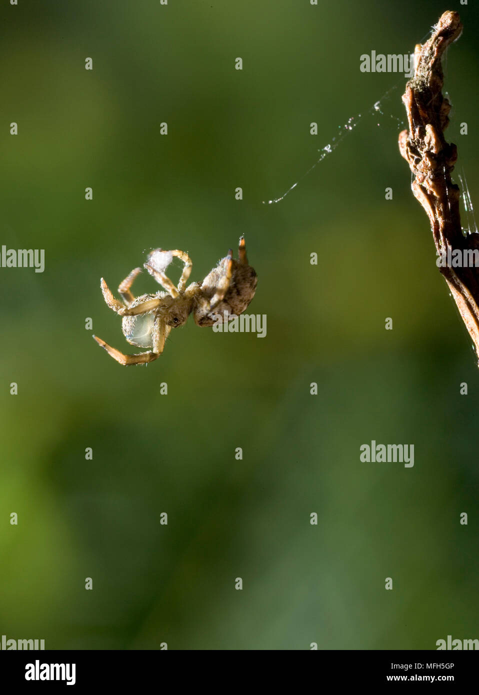 TRIANGLE WEB SPIDER male Hyptiotes paradoxus rolling up web into silk ball prior to re-ingestion.  England. A rare cribillate orb web spinner found in - Stock Image