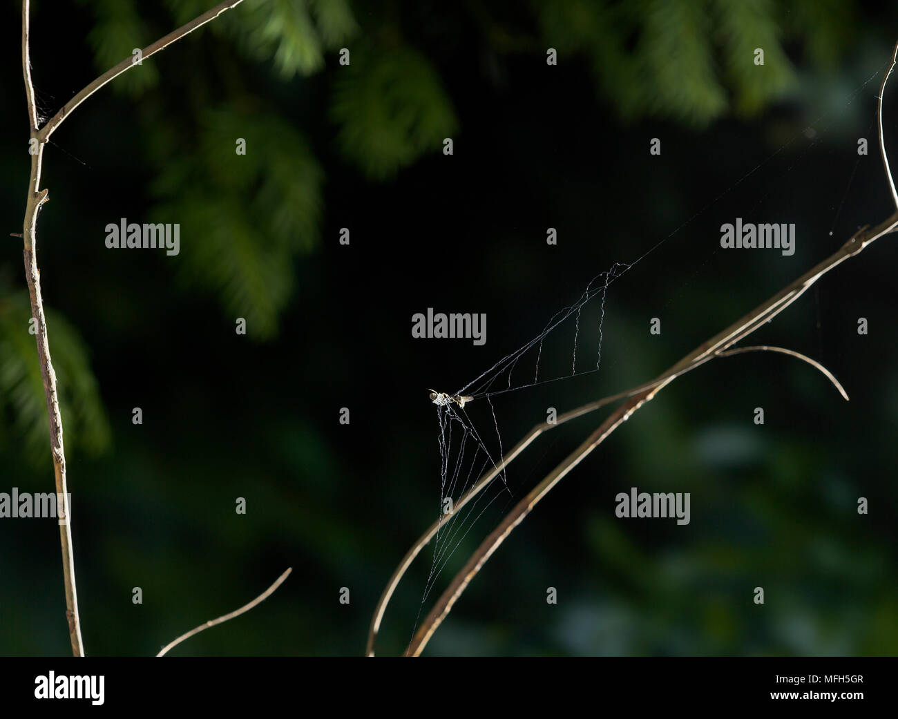 TRIANGLE WEB SPIDER male Hyptiotes paradoxus showing the collapsing web.  England. A rare cribillate orb web spinner found in Yew and Box. This family - Stock Image