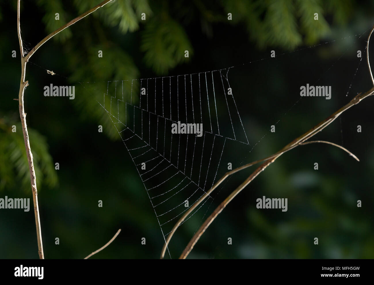 TRIANGLE WEB SPIDER male Hyptiotes paradoxus waiting in freshly made triangular web.  England. A rare cribillate orb web spinner found in Yew and Box. - Stock Image
