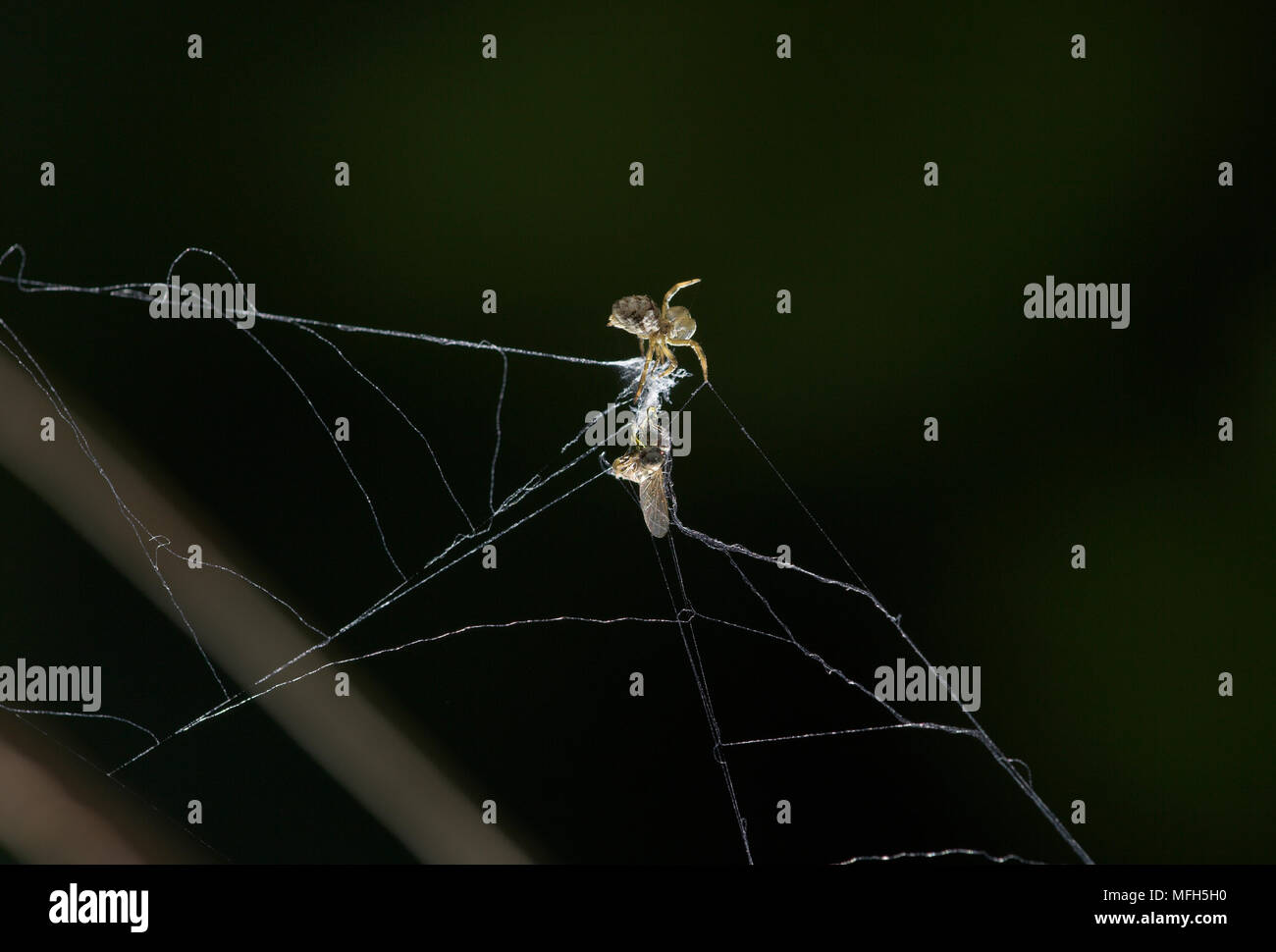 TRIANGLE WEB SPIDER male Hyptiotes paradoxus wrapping fly prey.  England. A rare cribillate orb web spinner found in Yew and Box. This family Uloborid - Stock Image