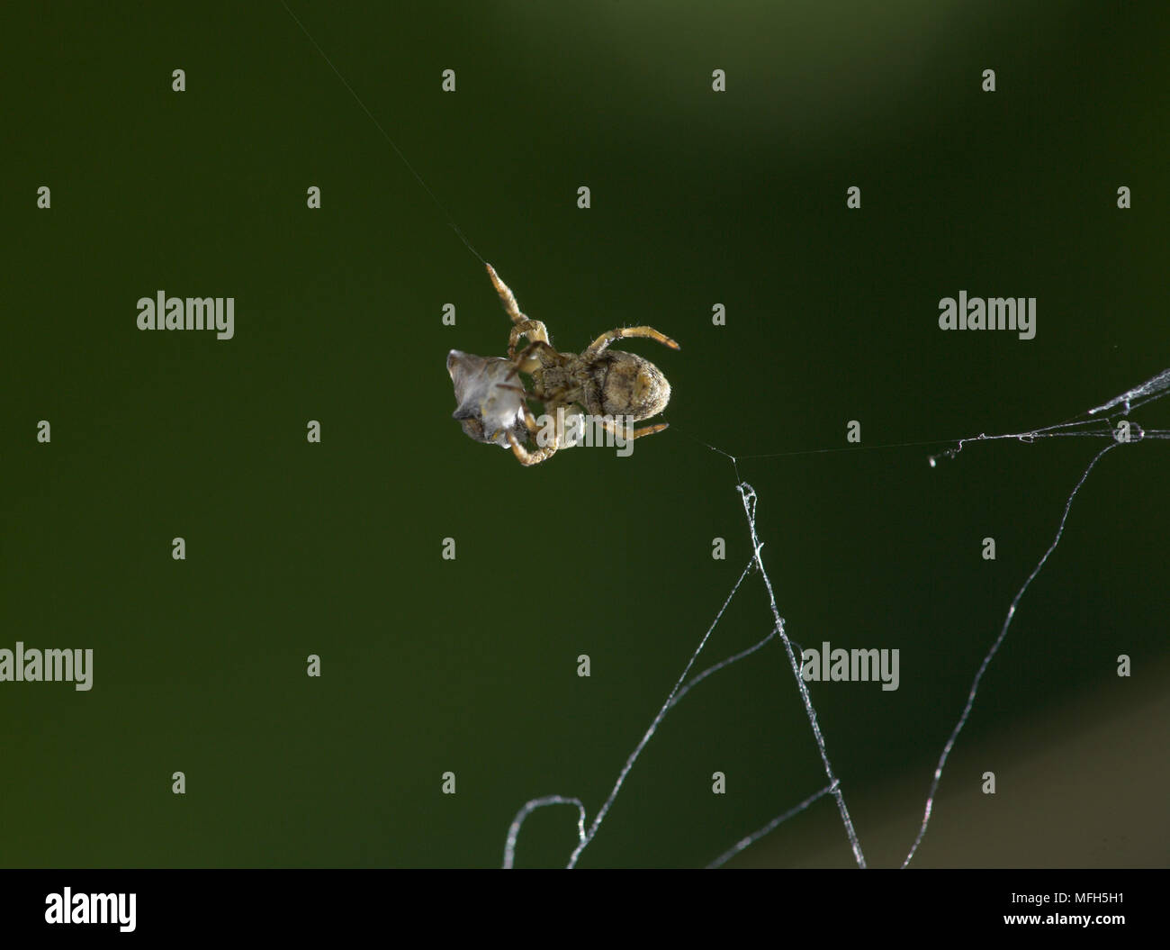 TRIANGLE WEB SPIDER male Hyptiotes paradoxus carrying wrapped fly prey.  England. A rare cribillate orb web spinner found in Yew and Box. This family - Stock Image