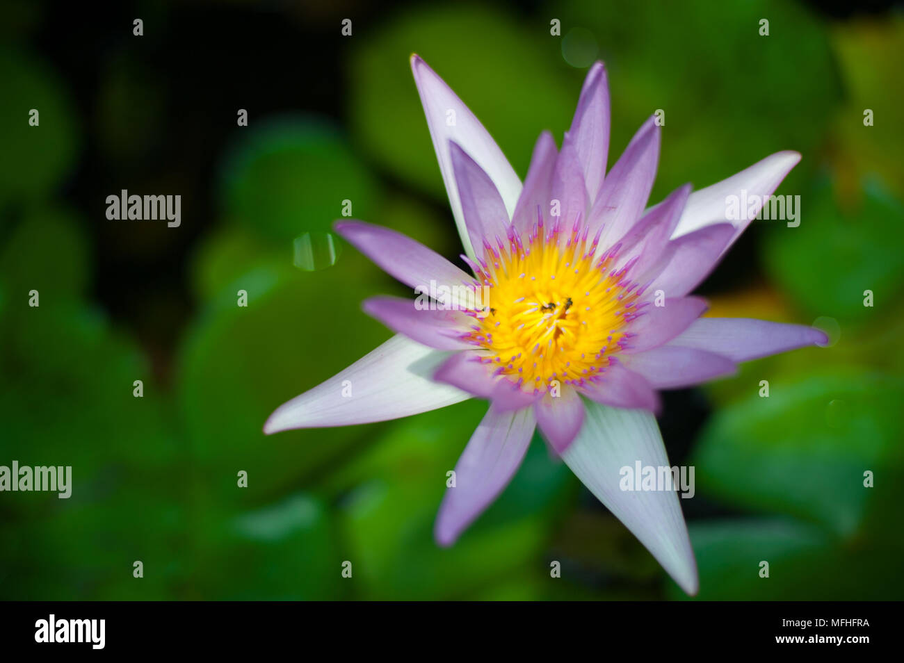Lotus flower buy stock photos lotus flower buy stock images alamy thai flower at ayutthaya world heritage site thailand thailand is known as a country izmirmasajfo