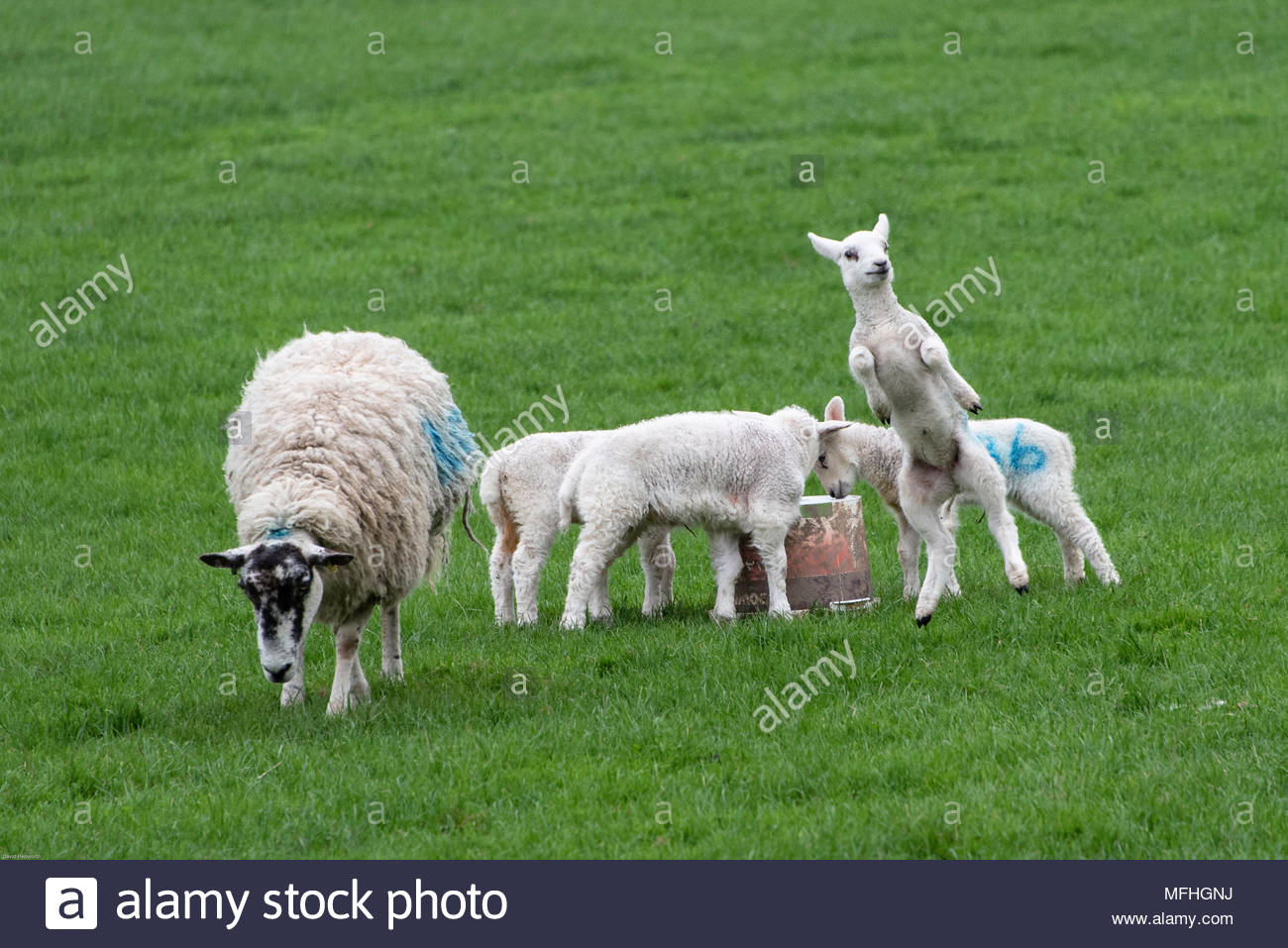 Group of lambs in a field on an English farm with one ewe and four lambs, one of which is leaping into the air. - Stock Image