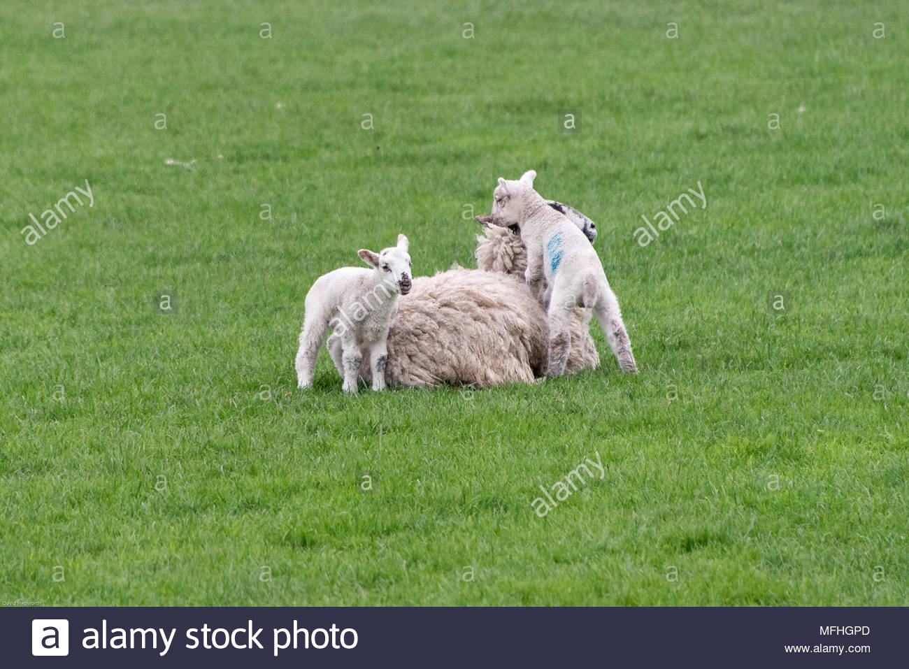 Two lambs and the ewe, with one lamb climbing on the ewe's back - Stock Image