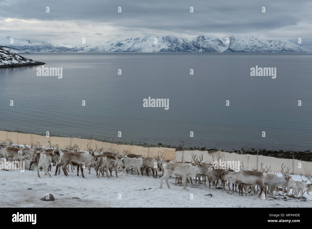 Herd of reindeer before moving to summer pastures - Stock Image
