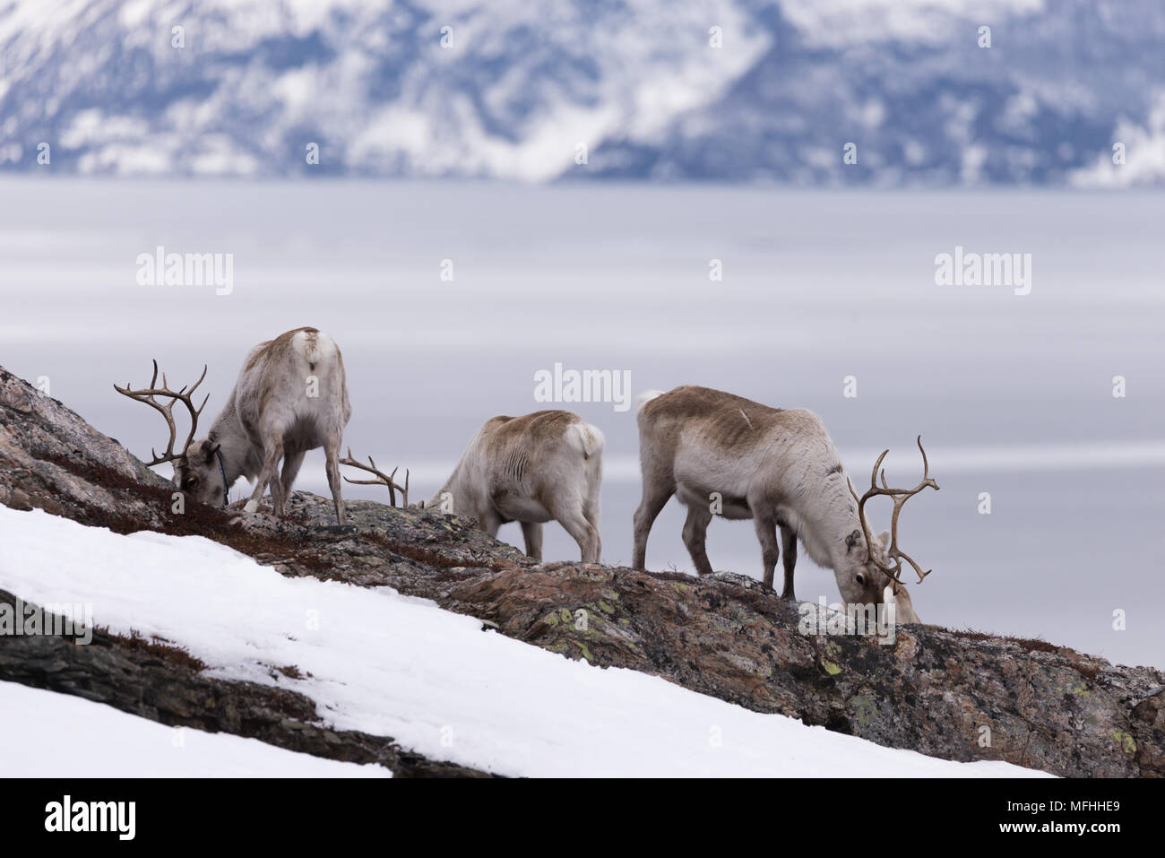 reindeer eating in spring before moving to summer pasture - Stock Image