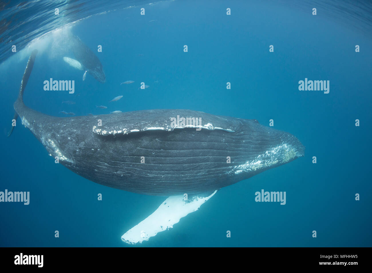 humpback whales, Megaptera novaeangliae, a calf follows its mother; both are accompanied by leatherbacks or doublespotted queenfish, Scomberoides lysa - Stock Image