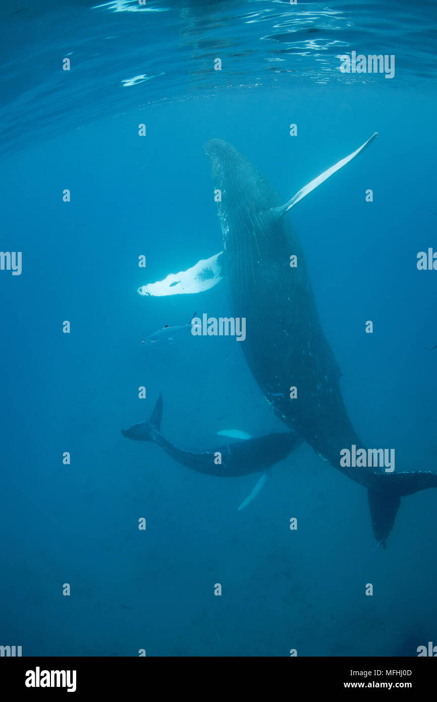 humpback whales, Megaptera novaeangliae, a calf approaches its mother, possibly hoping to nurse; They are accompanied by leatherbacks or doublespotted - Stock Image