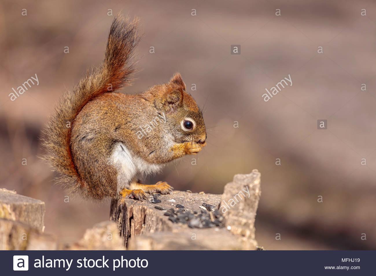 American red squirrel Tamiasciurus hudsonicus pine squirrel North American red squirrel chickaree Whitby Ontario Canada - Stock Image