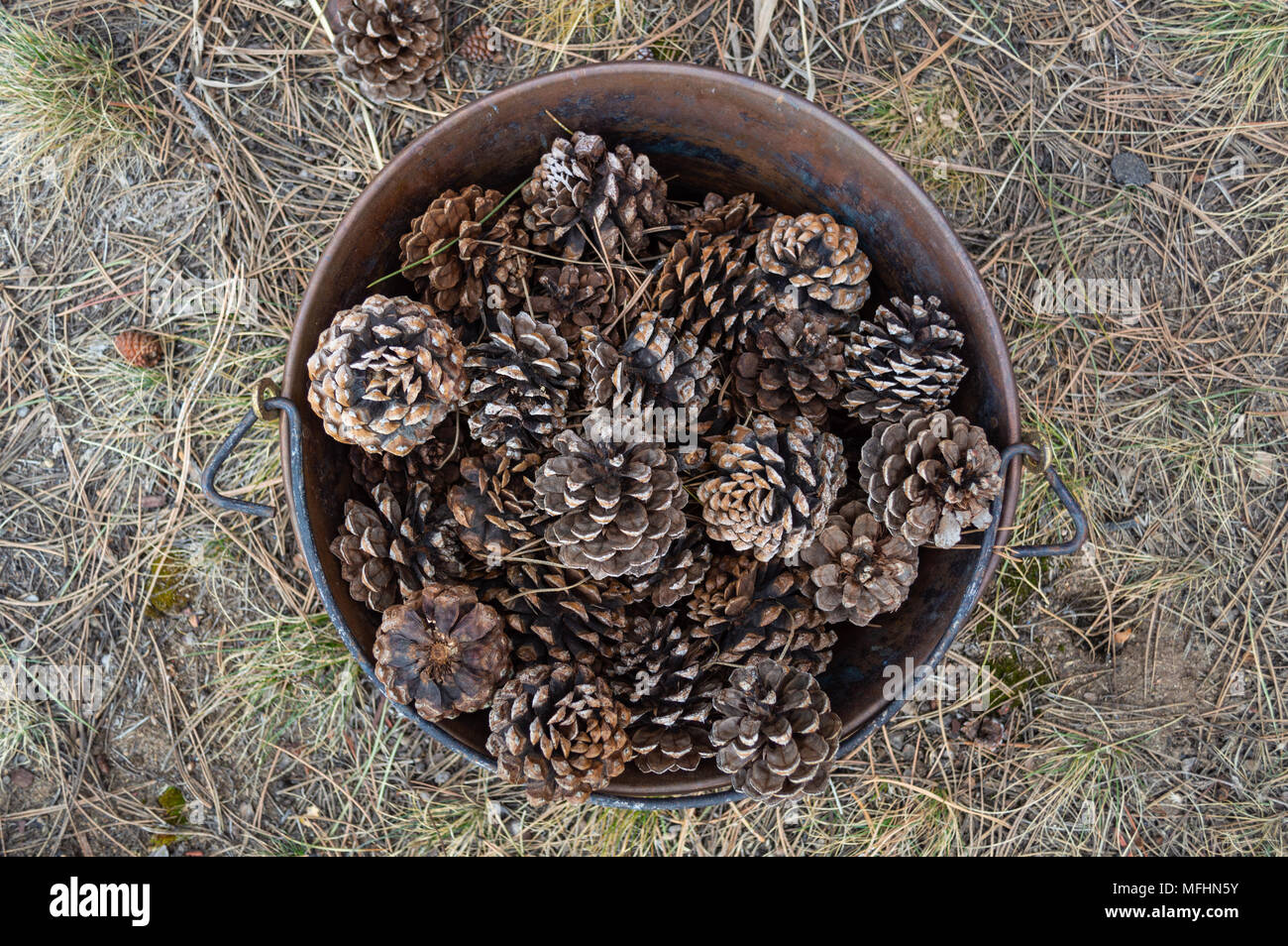 Rusty Bucket Full of Pinecones - Stock Image