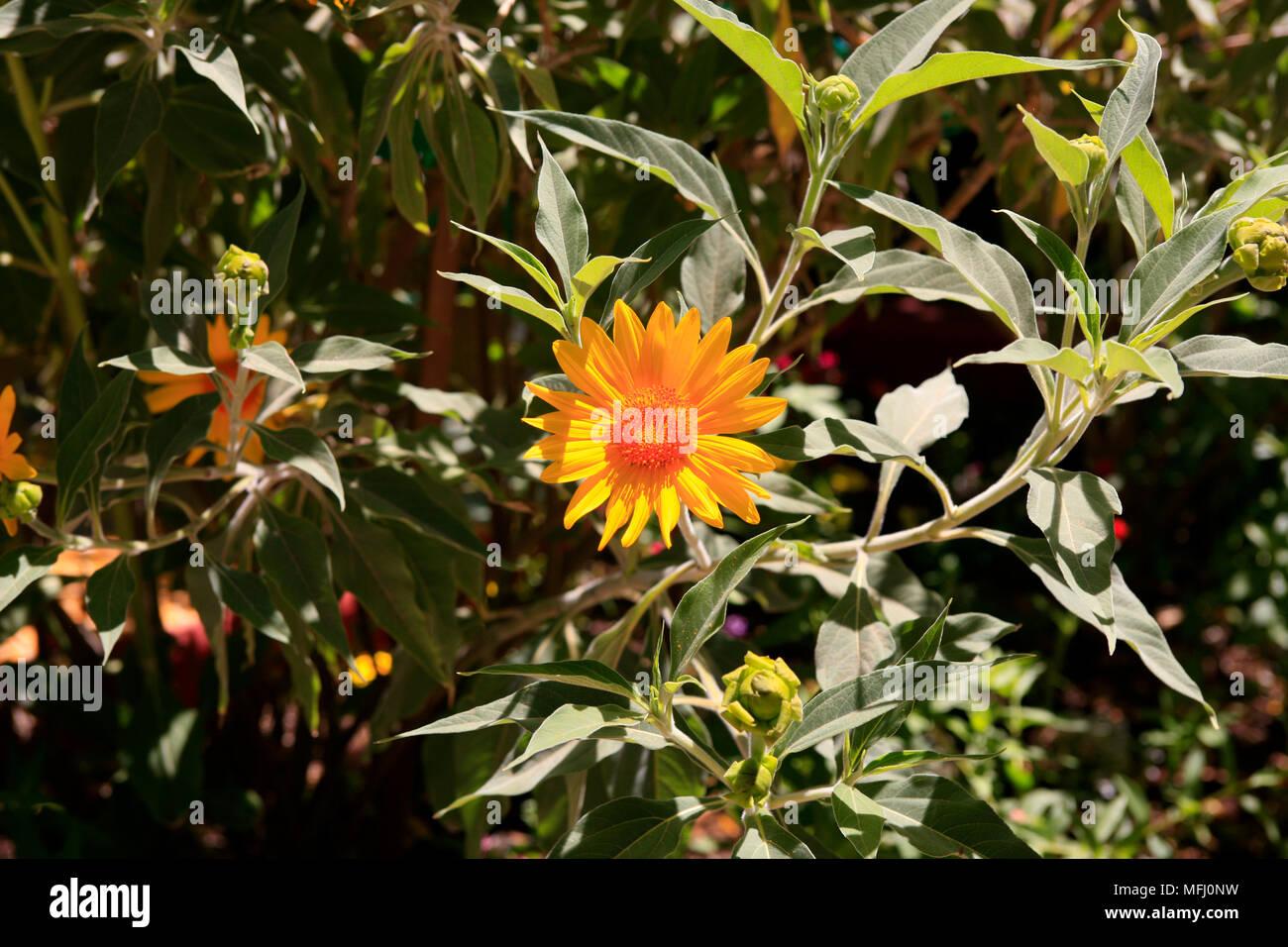 Gerbera Daisy or Transvaal Daisy with many varieties grown worldwide seen in Arizona USA - Stock Image