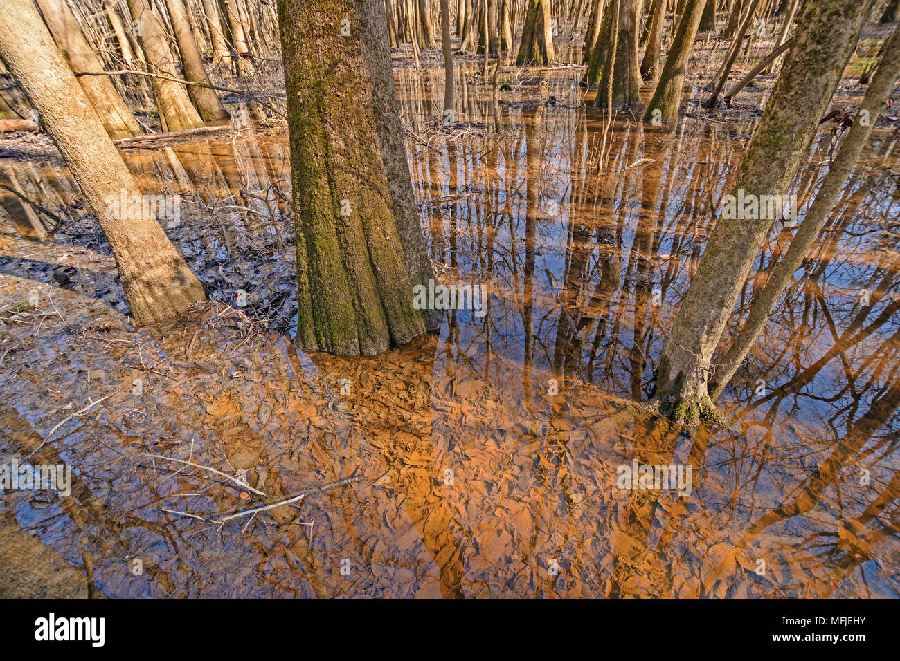 Tupelo Trees Growing in the Wetlands in Congaree National Park in South Carolina - Stock Image