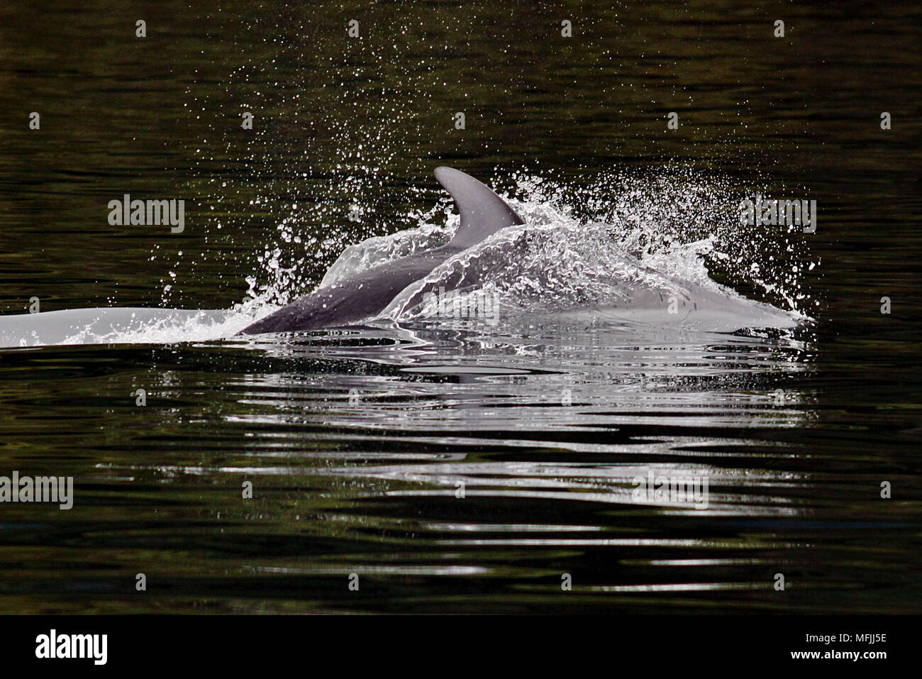 Pacific White-sided Dolphin surfacing off the coast of Northern Vancouver Island on the West Coast of British Columbia, Canada. - Stock Image