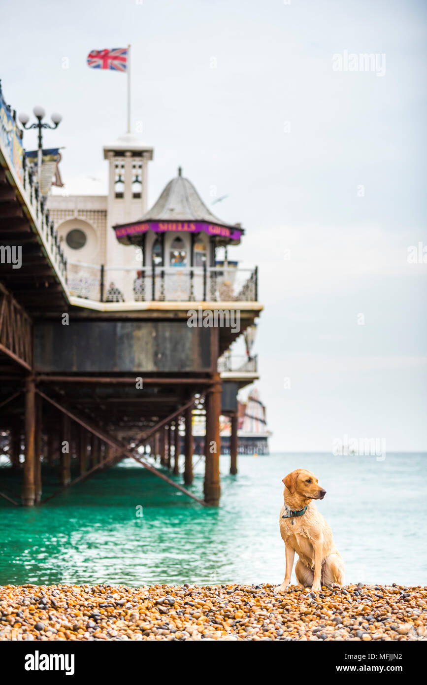 Golden labrador on Brighton Beach, Brighton and Hove, East Sussex, England, United Kingdom, Europe - Stock Image