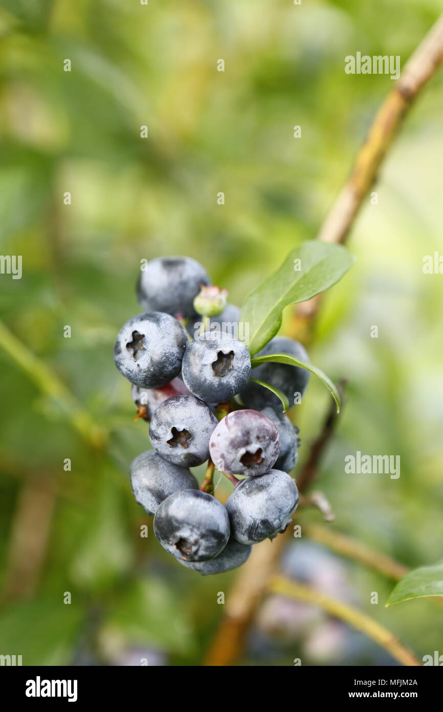 Fresh blueberries at a farm in Rogers, Arkansas. - Stock Image