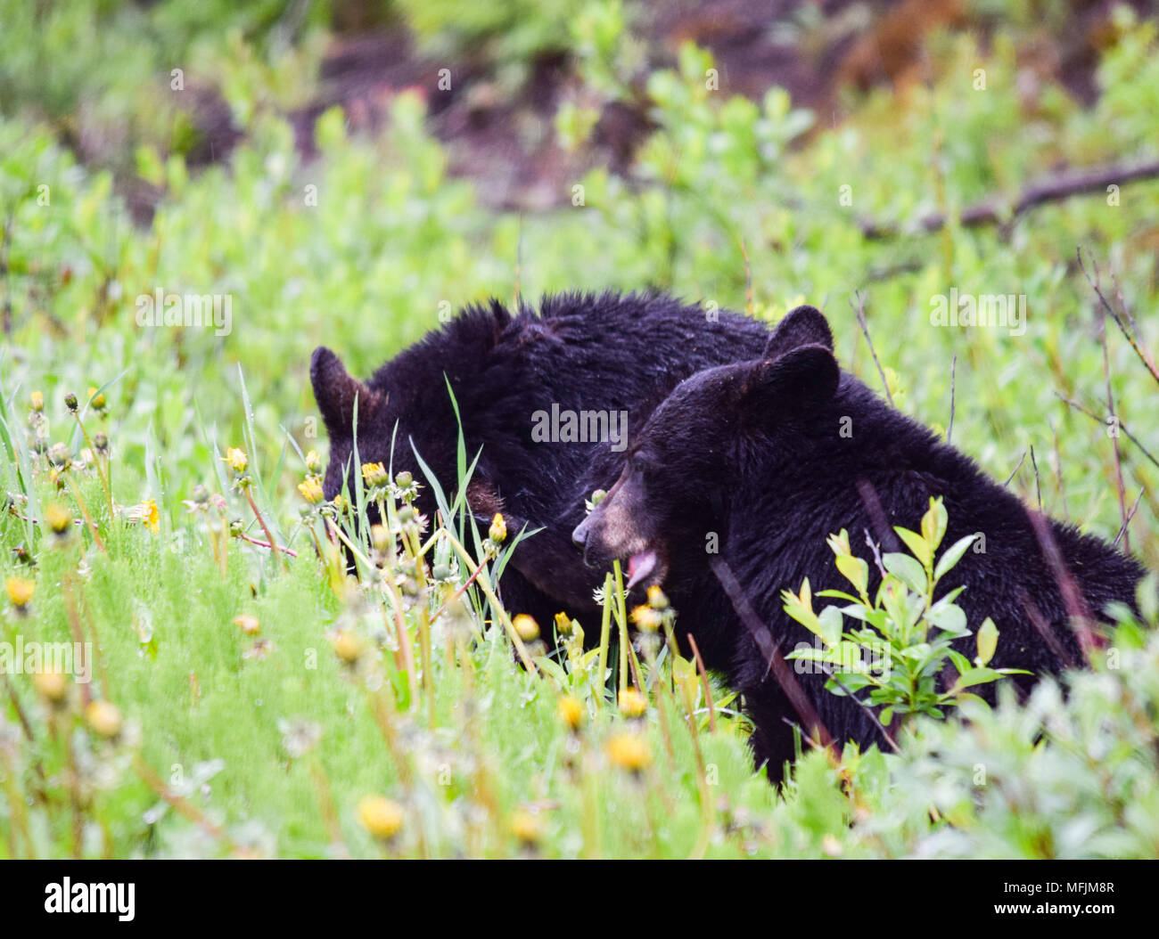 A pair of adorable black bear cub enjoys a breakfast of dandelions on a rainy cool morning in the Canadian Rocky Mountains near Banff, Alberta - Stock Image